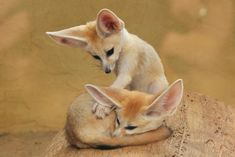 The Fennec Fox (Vulpes zerda) is a small nocturnal fox found in the north of the Sahara Desert of North Africa which has distinctively large ears.