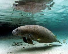 Peixe-boi-marinho (Trichechus manatus) é uma espécie de peixe-boi da família dos triquecídeos.
