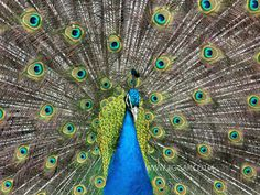 I am adding this new image I took of this stunning peacock, strutting his stuff to my jigsaw collection at www.jig-sak.co.uk or contact me via Facebook StacksJigSakandPics Should make a real challenging jigsaw