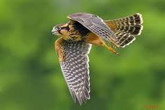 Aplomado Falcon - Google Search