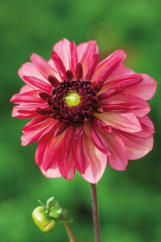 How to grow dahlias | Garden Ideas & Inspiration (houseandgarden.co.uk)