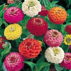 David& Garden Seeds Flower Zinnia Lilliput Mix Heat Tolerant (Multi Colored) 1000 Open Pollinated Seeds *** Additional details at the pin image, click it : Gardening Flowers Garden Seeds, Planting Seeds, Planting Flowers, Herb Seeds, Beautiful Gardens, Beautiful Flowers, Zinnia Elegans, Home Garden Plants, Annual Flowers