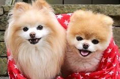 42 Times Boo And Buddy Were The Cutest Dogs In The World In 2014