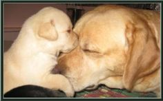 UGHH i wish we could get another lab puppy!! There is nothing more loving and adorable