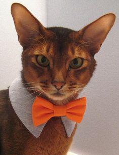 イケメンですね!海外WEBサイトで起用された今もっとも熱い新人猫モデル「トキ・ナンタケット」:カラパイア
