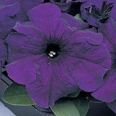 Petunia Seeds 1,000 Pelleted Supercascade Blue BULK SEEDS #PetuniaSeeds