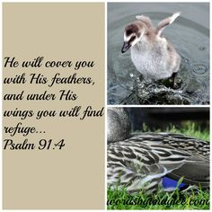 Psalm 91:4 faith Bible verse.  Put your trust in the Lord.  Learn how to crawl up under the wings of God.  Spiritual inspiration.  Scripture of God's tender loving care.