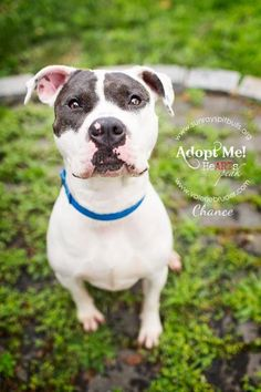 Chance is an adoptable Pit Bull Terrier searching for a forever family near Easton, PA. Use Petfinder to find adoptable pets in your area.