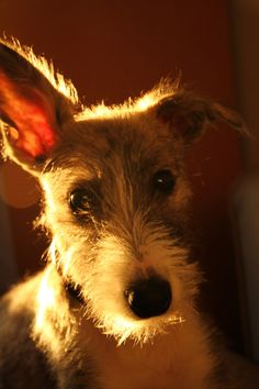 lurcher puppy ~ looks like Saffron