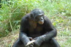 Estados Unidos pone fin a la investigación con chimpancés - Animales - Noticias, última hora, vídeos y fotos de Animales en lainformacion.com