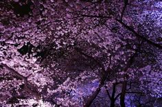 千鳥ヶ淵緑道 旅の専門家が選ぶ!今年こそ見たい桜&お花見名所まとめ2014 | [たびねす] by Travel.jp