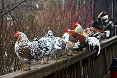 no uniform size or coloring so you get a pretty mix with only one breed. Fancy Chickens, Urban Chickens, Keeping Chickens, Chickens And Roosters, Raising Chickens, Chickens Backyard, Chicken Garden, Chicken Breeds, Farm Yard