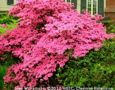 'Coral Bells' Karume azalea, an early bloomer, is completely covered in small coral-pink flowers.