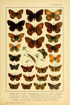 Plate from British and European Butterflies and Moths (Macrolepidoptera) by A.W. Kappel & W.E. Kirby with plates by H. Deuchert & S. Slocombe.   Published 1895 in London, New York by E.P. Dutton & Co.  http://www.biodiversitylibrary.org/item/23822via Wikimedia.
