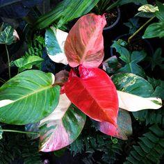 Philodendron Hybrid variegated ต้นนี้ผมชอบมากครับ…
