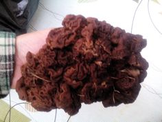 Nyt oli löytynyt korvasieniä hyvin, kokoa oli sienellä hyvästi! Velimies vaimoineen sienesti!