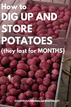How to dig up potatoes from the garden or containers. How to properly store potatoes for winter eating. Important tips to keep potatoes good for eating for winter months. #potatoes #foodstorage #digpotatoes #storepotatoes #winterpantry #winterfoodsupply #gardening #preserving #preservepotatoes