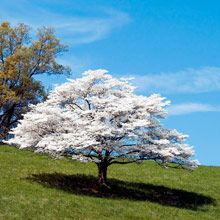 white dogwood - official tree of NC and oh so beautiful:  A profusion of full white blooms every spring. Deep green leaves turn scarlet in fall, making your dogwood a beautiful sight in all seasons.