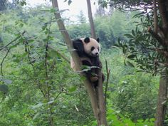 This panda got stuck in the tree. He gave up moving after 2 minutes of trying.     At the Panda Park in Chengdu.