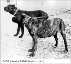 Cane Corso Fair Italica Basir and Babak