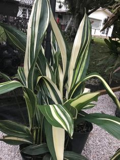 Aspidistra Elatior 'Ippin' Variegata Outdoor Plants, Outdoor Gardens, Front Yard Plants, Cast Iron Plant, Rare Plants, Pool Landscaping, Drought Tolerant, Plant Decor, Houseplants