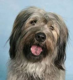 Catalonian Sheepdog Information, Pictures of Catalonian Sheepdogs | Dogster