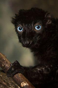 El lémur negro de ojos azules (Eulemur flavifrons) Es uno de los primates más seriamente amenazados de extinción, y se incluye en la lista de los Los 25 primates en mayor peligro del mundo.3 Su estatus en la Lista Roja de la UICN es de «en peligro crítico» debido a la pérdida de hábitat por quema y transformación en zonas de cultivo, furtivismo y comercio ilegal. Se estima que en tres generaciones —24 años— habrá desaparecido el 80 % de su población, que en 2001 era de unos mil individuos.