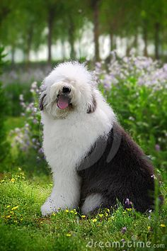 I. Need. A. Sheep dog