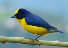 "Thick-billed Euphonia are one of many species that live in the ""coffee forests"" of Colombia."