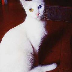 Mi reyna hermosa #cats #ojos #bicolor #gata #mimi