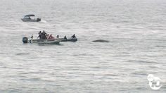 #CALIFORNIA #SWD #GREEN2STAY Young whale off the coast of La Jolla may not survive