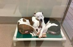 Lonely Dogs Who Met At Shelter Just Became Best Friends  ||  They love cuddling, playing and licking each other. https://www.thedodo.com/close-to-home/shelter-dogs-cuddle-together-georgia?utm_campaign=crowdfire&utm_content=crowdfire&utm_medium=social&utm_source=pinterest