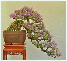 bougainvillea bonsai tree