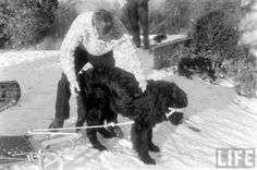 Bobby Kennedy leashes up his infamous and enormous black Newfoundland dog, Brumus, to a sled for his youngest children.