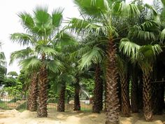 Trachycarpus fortunei.    We are professional supplier. Trust depends on specialty. If you like them, please feel free to contact me. Email: sale@gdspeedling.com Mob & Whatsapp: +86 13600022661
