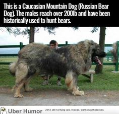 """unbelievable-facts: """" This is a Caucasian Mountain Dog (aka Russian Bear Dog). The males reach over and have historically been used to hunt bears. """" Bears, large bison, small tanks whatever the Hell it feels like. Animals And Pets, Funny Animals, Cute Animals, Huge Dogs, I Love Dogs, Massive Dogs, Beautiful Dogs, Animals Beautiful, Beautiful Pictures"""