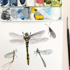Day 93/100 of my #100dayproject and I thought it would be appropriate to paint a dragon fly amongst other things as we have so many flying around just now! They are very beautiful to watch did you know they are one of the fastest flying insects and some can fly up to 30mph! They also need to warm up in the sun during the morning before taking off and flying for most of the day. We love spotting them and this one in the middle is a yellow ringed dragon fly one of the biggest found in the U.K…