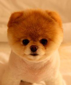 Boo, the dog