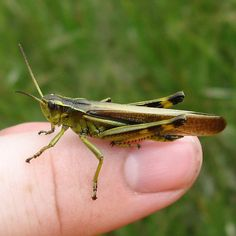BAND-WINGED GRASSHOPPERS:  Striped Sedge Grasshopper (Stethophyma lineatum) - male