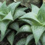 Haworthia venosa subsp. tessellata - Veined Haworthia