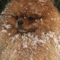 Любовь моя ❤ прекрасен 👑❄️ #spitz#germanspitz#ilovespitz#pom#pommy#pompompom#pomeranian#royalpom#spitzinstagram#spitzdog#spitztagram#instadog#dogsofinstagram#ilovemydog#шпицсоло#petstagram#ilovemypom#dogsofinstagram#pompom#instadog#photo#pompup_feature#thedailypompom#pomlovers#teddybear#puppylovers#bear#teddibear