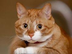 Рыжие коты :: Кошачий портал. Фото кошек, картинки с кошками