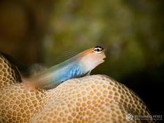 Blenio de Bath, muy típico en toda Indonesia. No alcanza más de 4 centímetros de longitud y vive en zonas someras de arrecifes entre los corales.