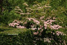 Cornus kousa 'Satomi' middelgrote struik met prachtige rood-paarse herfstkleur Ook in zwaardere maten leverbaar, prijzen op aanvraag.. De hoogte na 10 jaar is 250 cm. De bloemkleur is roserood. De bloeiperiode is mei - juni. Deze plant is goed winterhard.  Nederlandse naam : Japanse grootbloemige kornoelje PlantPlus
