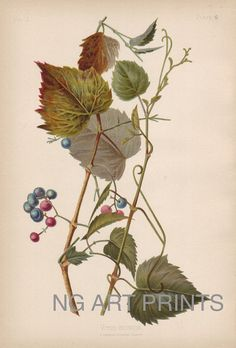 Prang Botanical Print, Meehan Ivy Grape Print  by NGArtPrints, $39.50