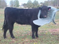 Cows just have a really hard time with things, okay?