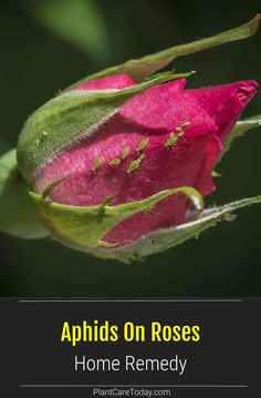 Yes you can use a home remedy to control aphids on roses? Aphids are not a superbug and with a bit of time and dedication, be eliminated using various home remedies. We share several ways to get rid of aphids on rose plants with home remedies. Getting Rid Of Raccoons, Get Rid Of Aphids, Planting Garlic, Insect Species, Planting Roses, Beneficial Insects, Rose Bush, Blooming Rose, Garden Pests