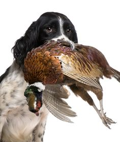 Springer Spaniels - Named For Their Hunting Ability