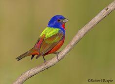 Painted Bunting, Bird Paintings, Pink Bird, Little Birds, Adorable Animals, Tattoo Ideas, Study, Tattoos, Photos