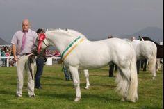 Brock lodge buster, Connemara pony